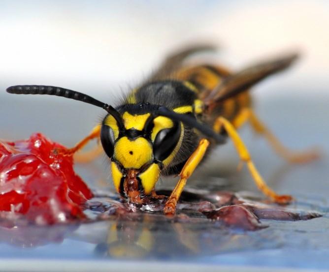 Wespen Vertreiben umgang mit wespen haushaltsmitteln zum wespen vertreiben stichheiler